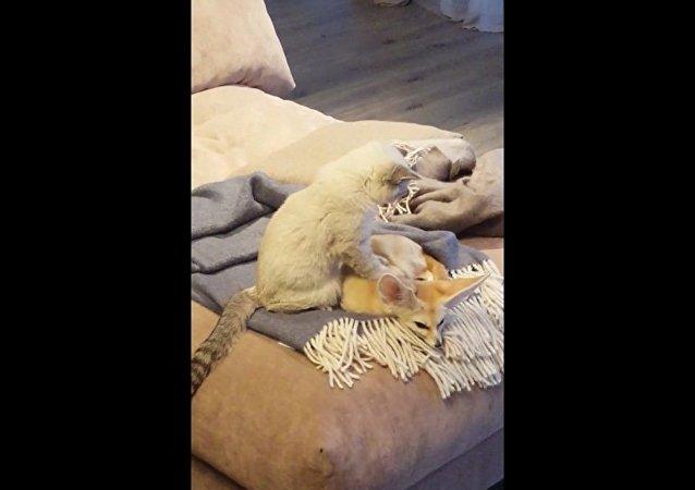 Un chat fait un massage relaxant à un fennec