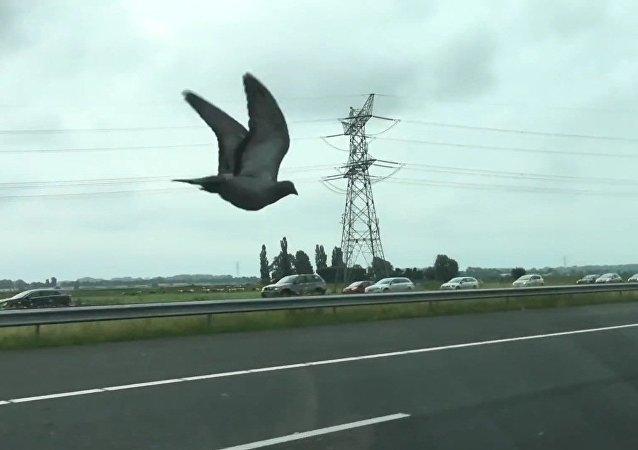 Ce pigeon ultrarapide qui humilie les voitures sur l'autoroute