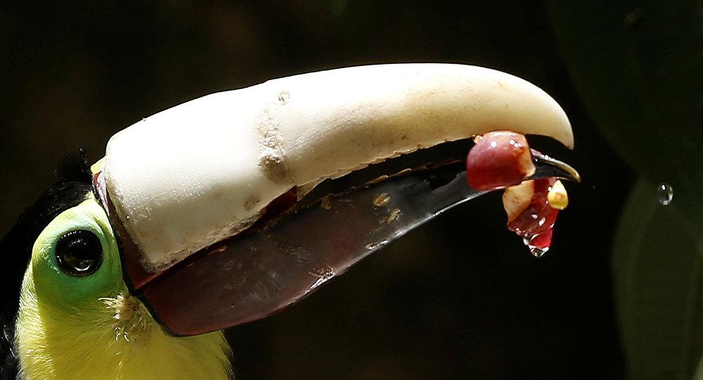 Le toucan au bec imprimé en 3D