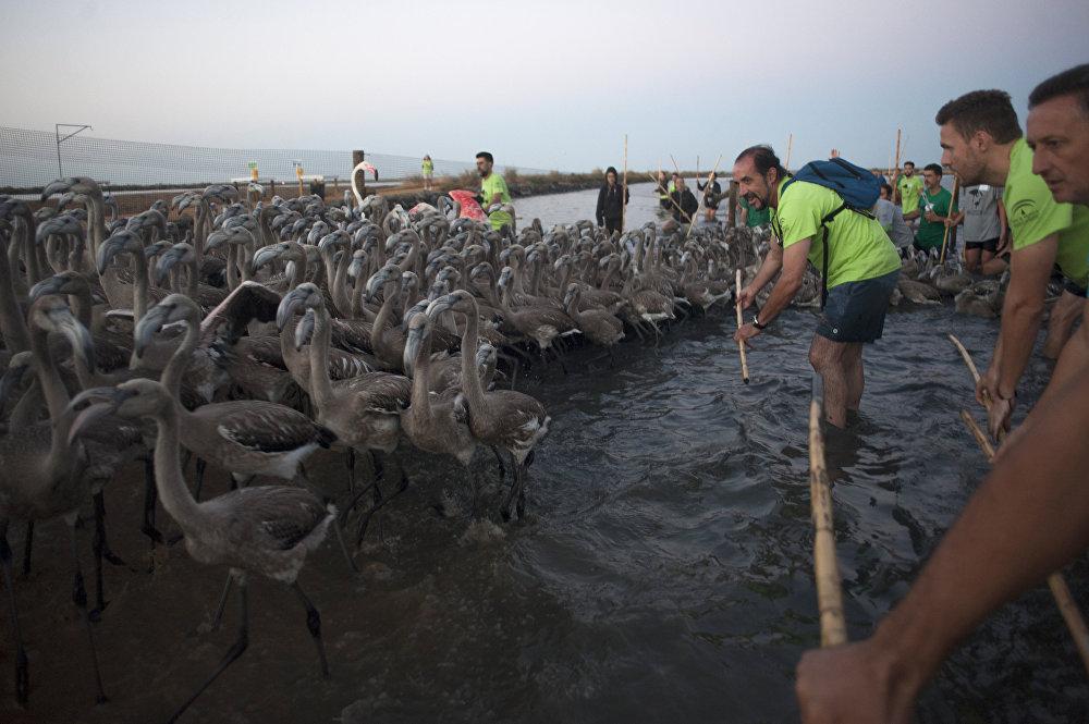 Le 13 août, on comptait les flamants. Les 407 oiseaux ont été mesurés, pesés et bagués
