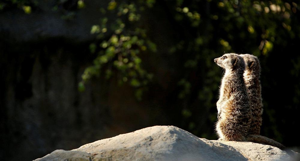 Des suricates au zoo de Los Angeles en Californie