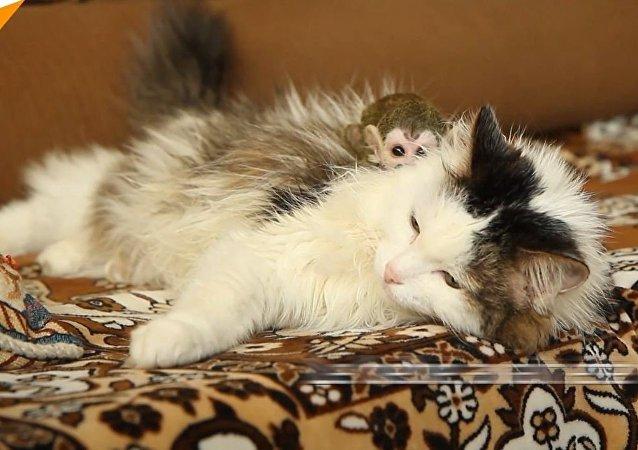 Un bébé singe adopté par… une chatte