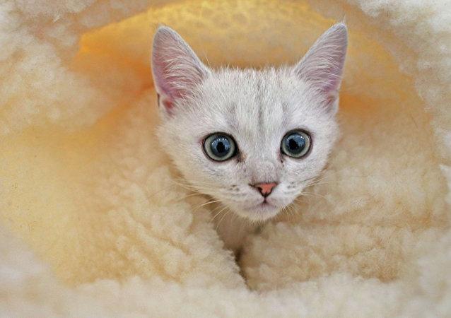 Un chat persan voyageur et nageur, nouvelle vedette des réseaux sociaux