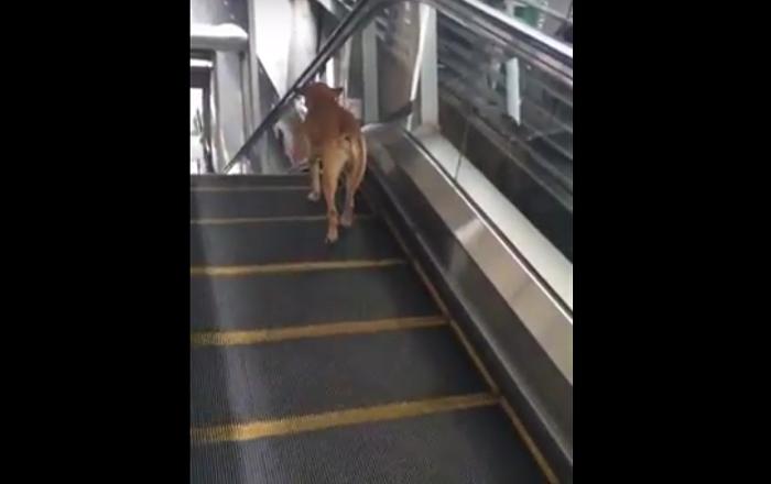 Un chien sur un escalator