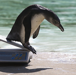A Humboldt penguin slides off the scales after being weighed during a photocall at London Zoo on August 24, 2016, to promote the zoo's annual weigh-in event in London on August 24, 2016
