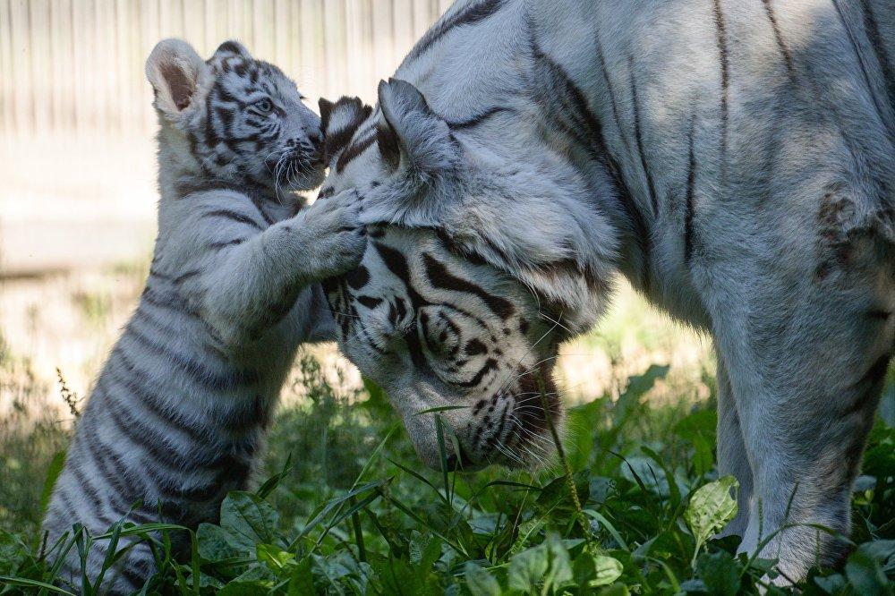 Un fils du tigre Zao et de la tigresse Zaika du zoo de Novossibirsk, qui a fêté ses deux mois le 21 août, a commencé à se promener dans la cage