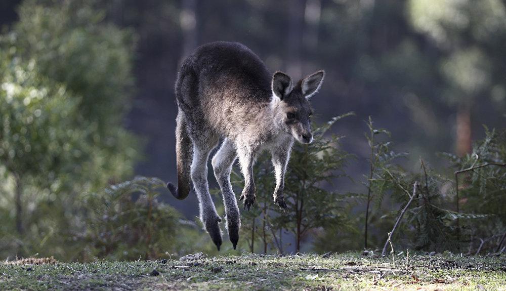 Près de deux millions de kangourous géants habitent dans l'ouest et le sud de l'Australie