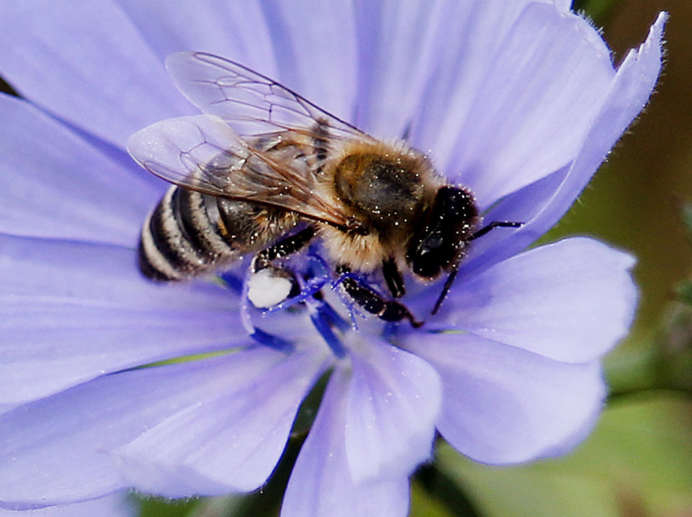 Une abeille sur une fleur près de Francfort