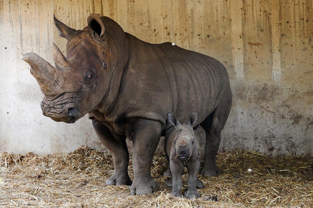 Il y a une semaine, un bébé rhinocéros est né dans le parc safari de Ramat Gan, en Israël