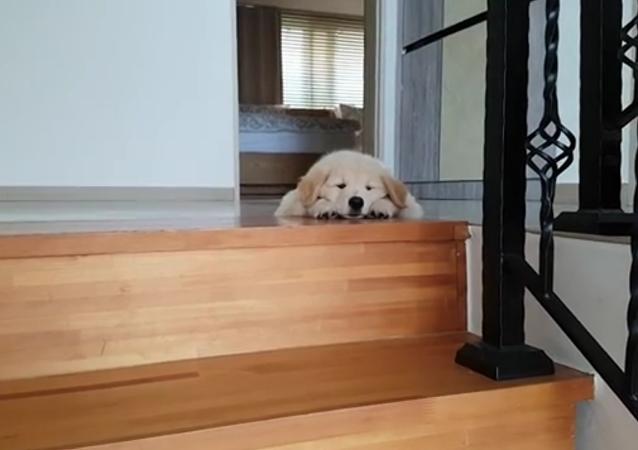 Un chiot adorable refuse de descendre l'escalier