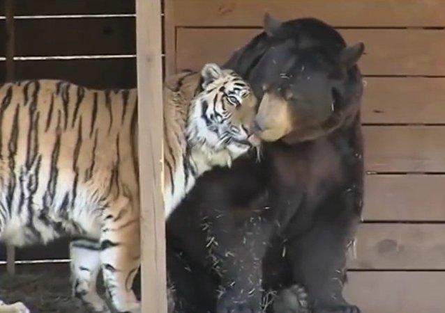 Un trio inséparable formé d'un ours, d'un tigre et d'un lion en deuil