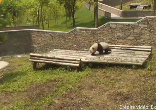 Faites connaissance avec сe panda roulant!