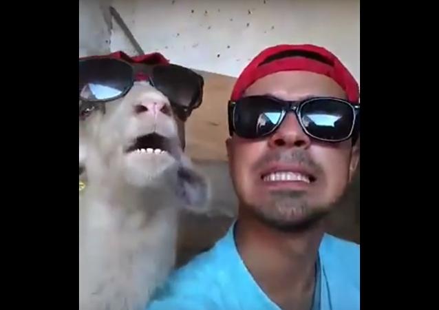 Une chèvre qui a du swag