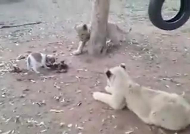 Un chiot féroce contre trois lionceaux