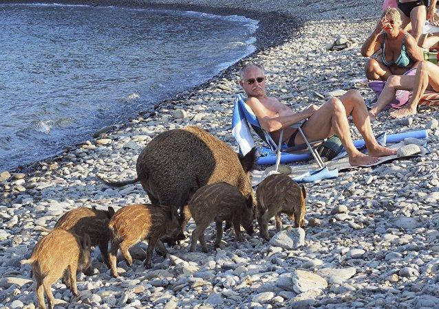 Une famille de sangliers se rend à la plage française