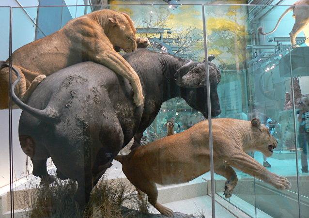 Animaux naturalisés dans un musée