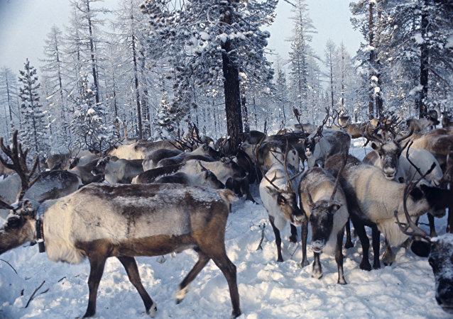Des rennes
