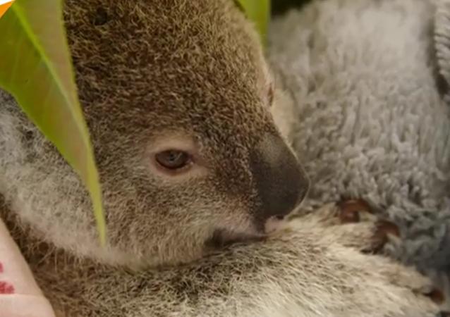 Un bébé koala qui va faire fondre votre cœur