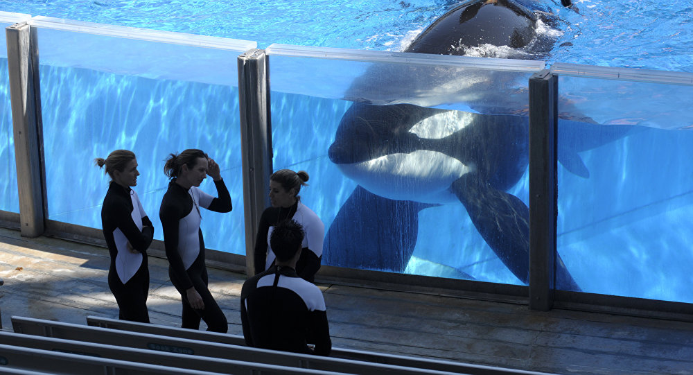 In this Monday, March 7, 2011, file photo, killer whale Tilikum, right, watches as SeaWorld Orlando trainers take a break during a training session at the theme park's Shamu Stadium in Orlando, Fla.