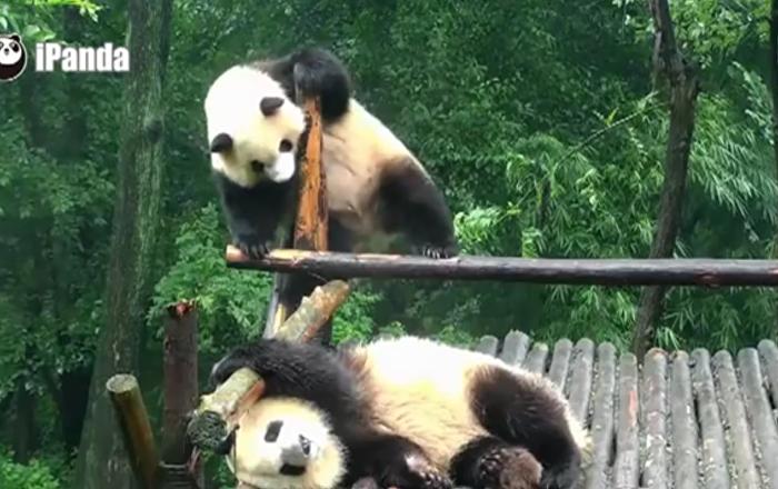 Panda danseur vs panda dormeur