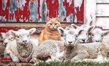 Steve le chat et les agneaux