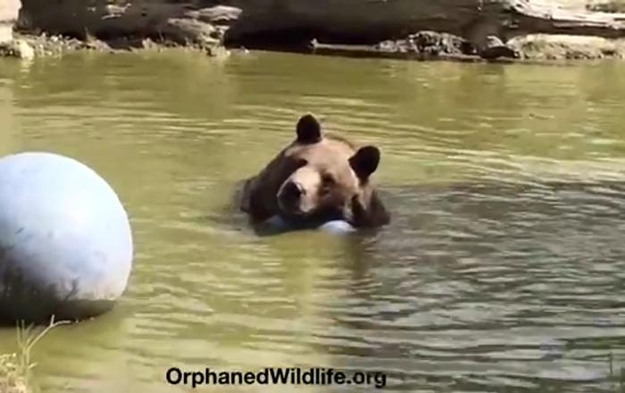 Les grands ours aussi aiment les plaisirs simples