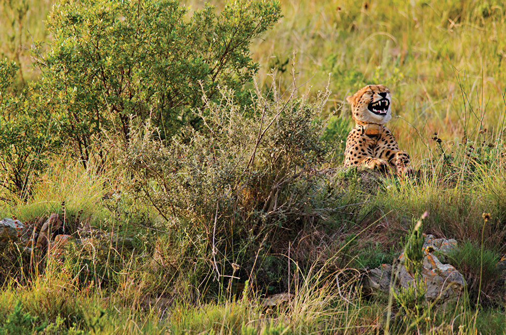 A comedic photo of a cheetah appearing to find something hilarious