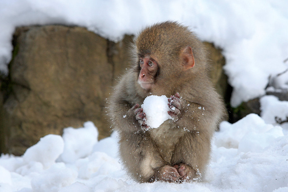 An adorable little monkey makes a snowball