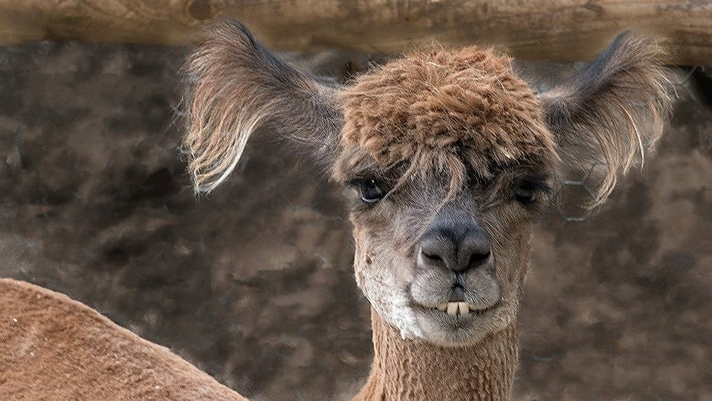 Alpaca with bad hair and goofy teeth