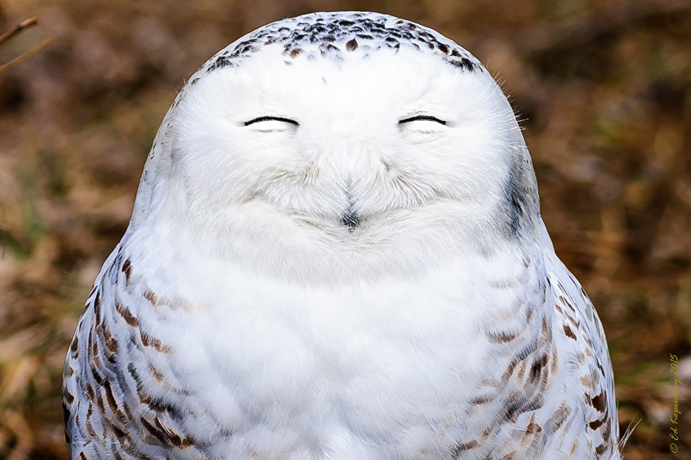 One very content snowy owl