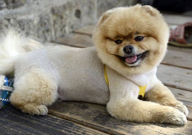 Un chow-chow (photo d'archive)