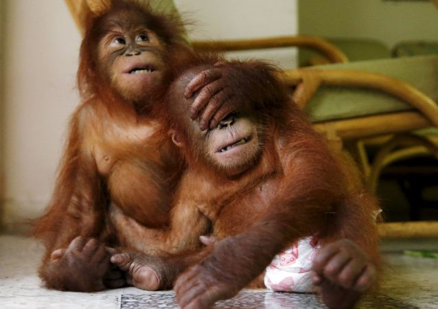 Les singes sont-ils aussi intelligents que les hommes?