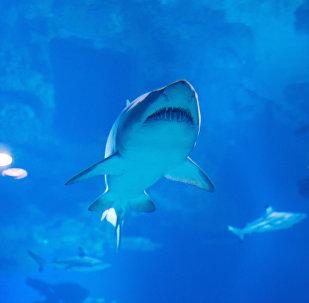 requin, image d'illustration