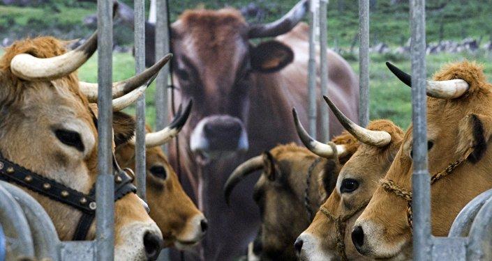 Du bœuf pour les réfugiés, solution à la crise bovine ?