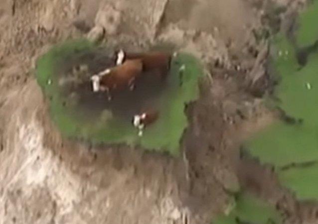 Les vaches coincées en Nouvelle-Zélande