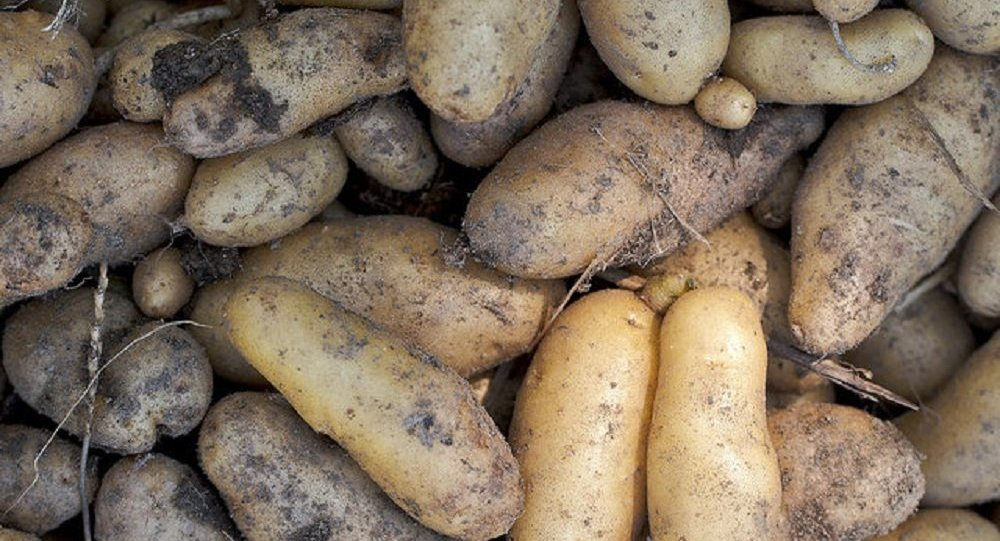 le stockage des semences de pommes de terre pour sauver le monde. Black Bedroom Furniture Sets. Home Design Ideas