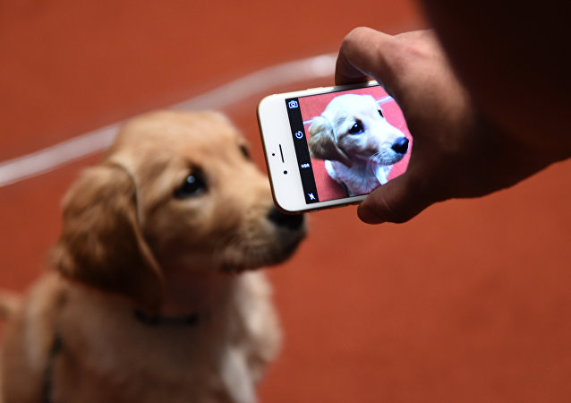 (FILES) This file photo taken on February 22, 2016 shows a Golden Retriever puppy during a news conference in New York at the American Kennel Club (AKC)