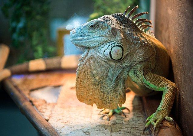Un iguane