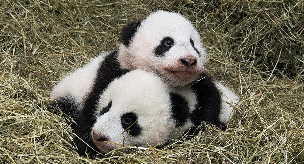Deux petits pandas