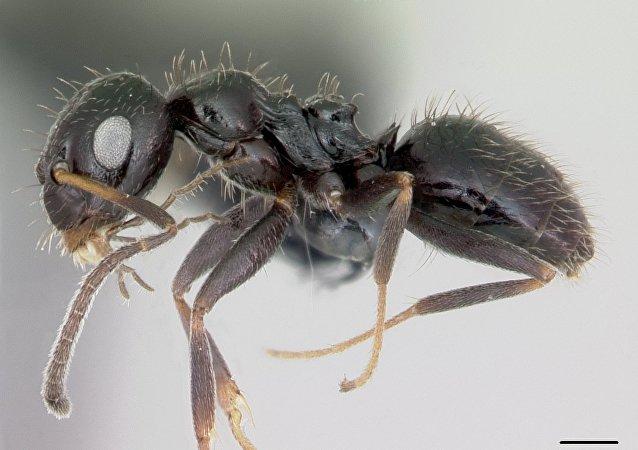 Lepisiota canescens