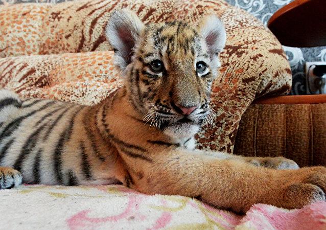 Le fils du tigre Amour et Katioucha: le début d'une belle amitié? (Vidéo)