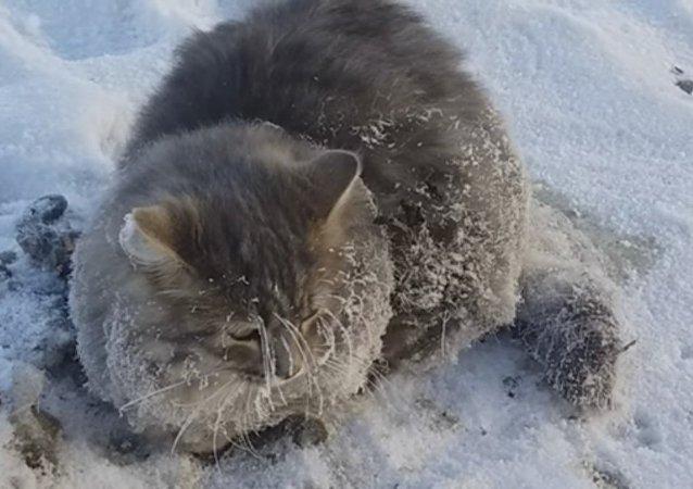 Un chat councé dans la glace