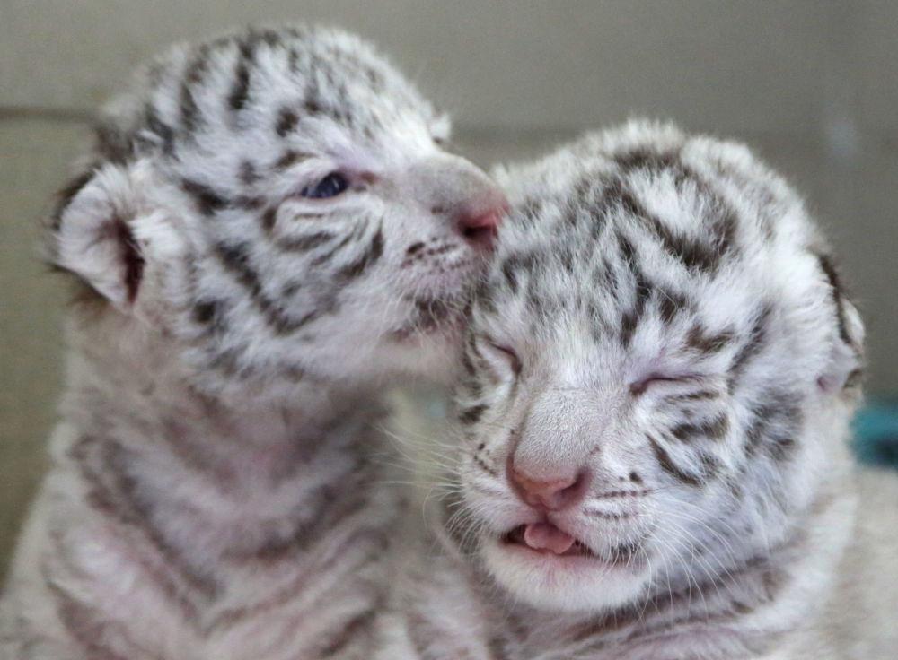 Des «mousquetaires» rayés. Trois petits tigres blancs nés dans un zoo de Crimée