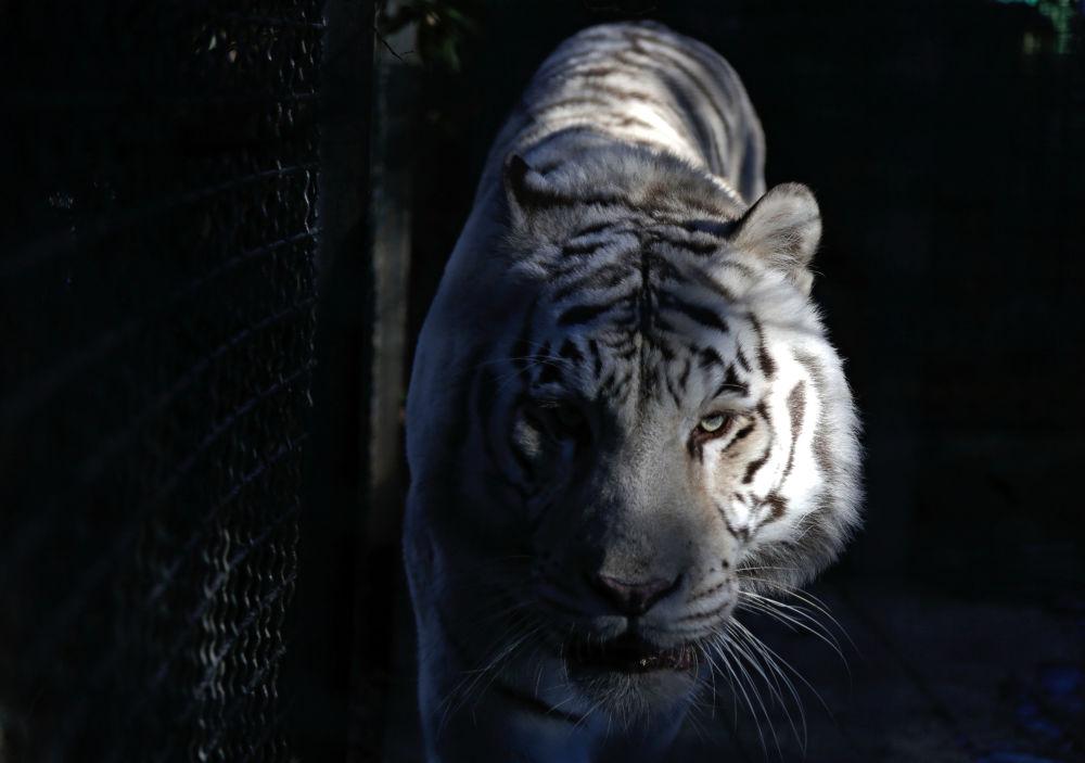 La tigresse a été offerte au zoo criméen par l'ancienne première ministre ukrainienne Ioulia Timochenko