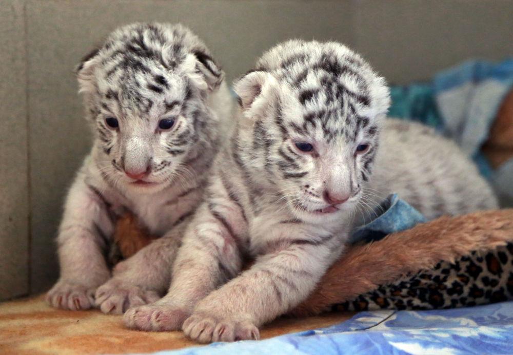 Les petits tigres blancs nés dans le zoo «Skazka» à Yalta