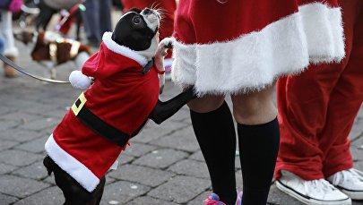 Un participant à quatre pattes lors d'une parade de Pères Noël à Loughborough (Royaume-Uni)