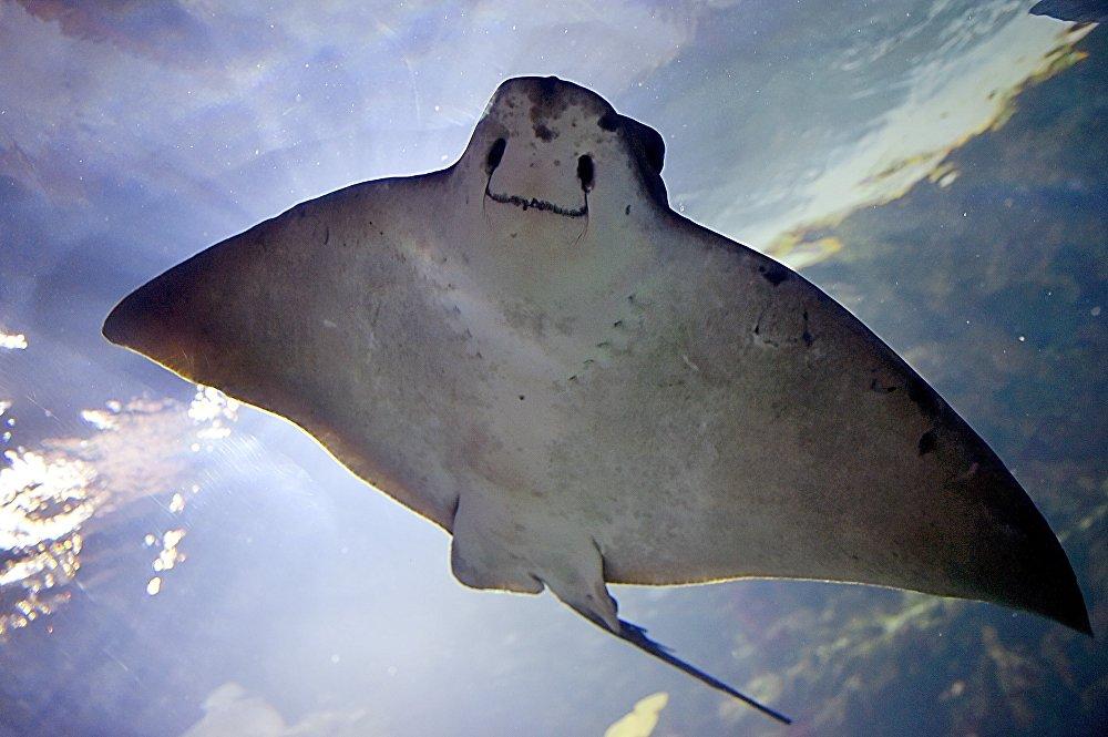 Une raie dans le grand aquarium du Croisic en France