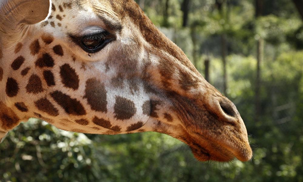 Le manoir des girafes est une petite maison à Karen, une ville aux abords de Nairobi (Kenya)