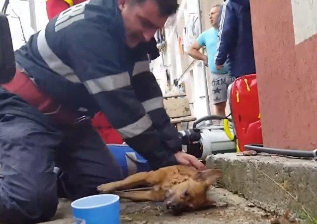 Un pompier fait du bouche-à-bouche à un chien et explose la Toile