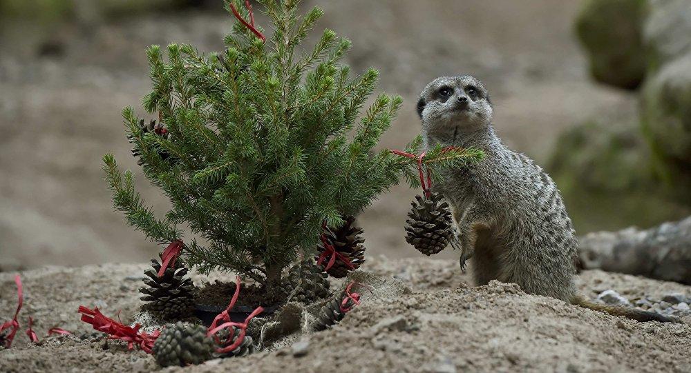 Un suricate au zoo de Londres
